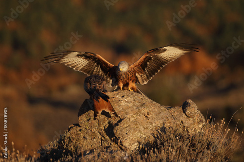 Foto op Canvas Natuur Red kite - end of migration