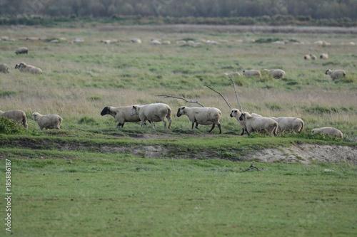 Foto op Aluminium Khaki moutons pré salé baie de somme