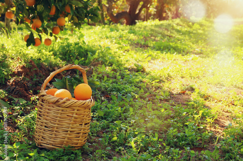 Papiers peints Jaune de seuffre Basket with oranges in the citrus plantation.