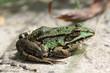 frog grenouille verte green water lily nenuphar macro france 1