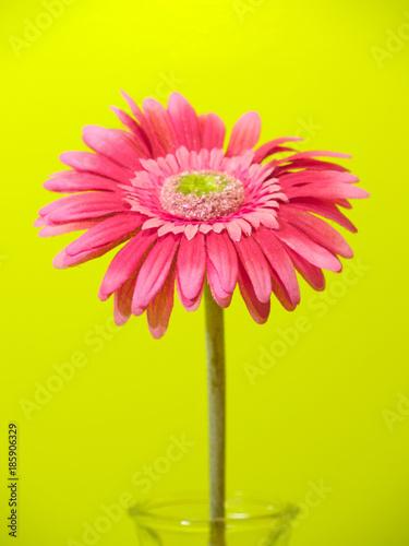 Fotobehang Gerbera Bright Pink Flower
