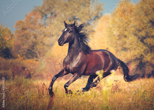Dark brown mare galloping on the autumn nature background