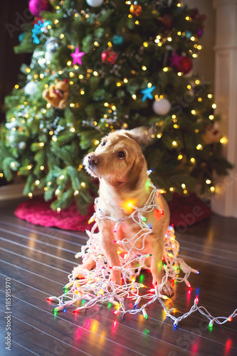 silly dog wrapped in christmas lights