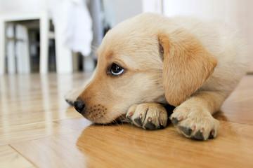 Bored Golden Retriever puppy Dog