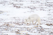 Arctic fox hunting on the frozen snow and kelp covered tundra of Hudson Bay, Manitoba, Canada