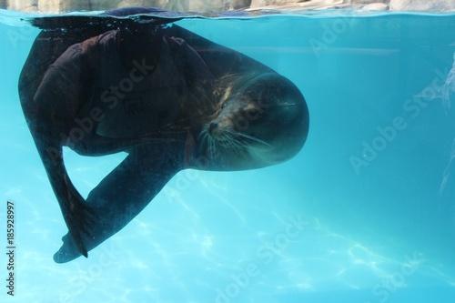 Fotobehang Dolfijn Otarie dans son aquarium