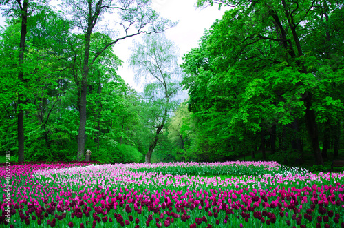 Foto op Aluminium Groene many tulips planted by color in an old Park on a background of forest