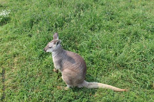 Aluminium Kangoeroe Small kangaroo in grass close up
