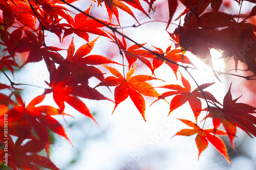 Fotobehang Rood paars Red Maple Leaf in Japan Autumn Asian Nature Background.