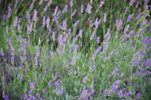 Fotobehang Lavendel Lavender 3rd