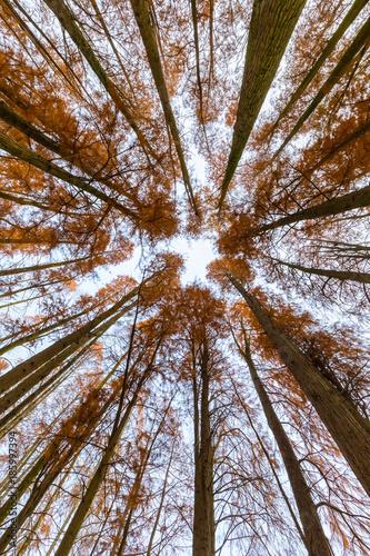 metasequoia woods in autumn - 185997394