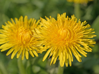Löwenzahn, Taraxacum, Blüten