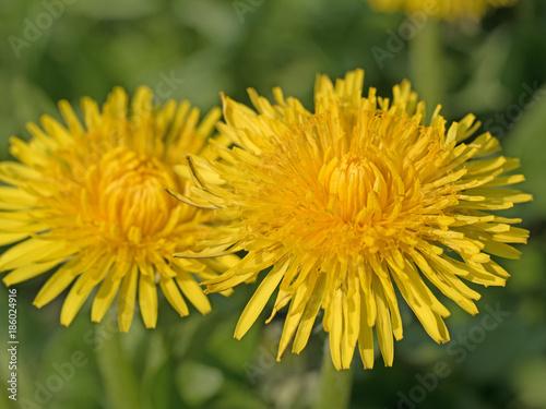 Löwenzahn, Taraxacum, Blüten - 186024916