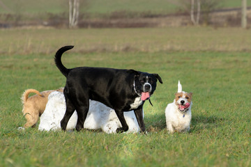 A young, playful dog Jack Russell terrier runs meadow in autumn with another big black dog.