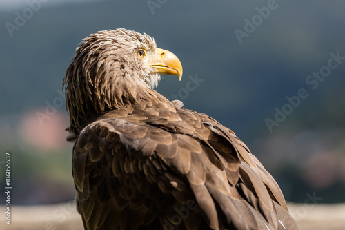 Plexiglas Eagle Seeadler Portrait