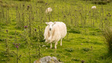 A curious sheep on a meadow, seen near Llyn Cwmystradllyn, Gwynedd, Wales, UK - 186079743