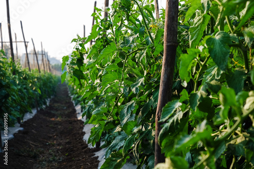 Fotobehang Groene Growing tomato farm field tied to bamboo supported structure