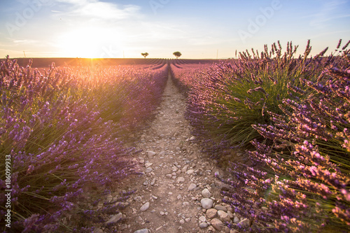 Keuken foto achterwand Lavendel Big lavender field on sunset