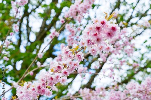 Fotobehang Kersen Cherry tree pink flowers blossoming twigs