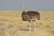 Leinwanddruck Bild - Afrikanischer Strauß (struthia camelus) im Etosha Nationalpark (Namibia)