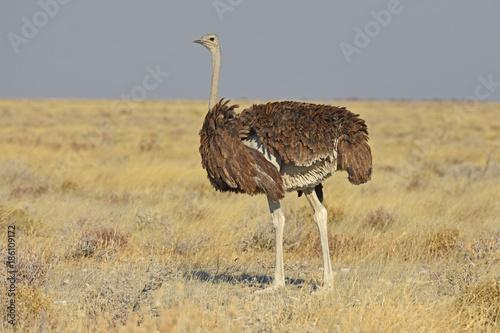 Leinwanddruck Bild Afrikanischer Strauß (struthia camelus) im Etosha Nationalpark (Namibia)