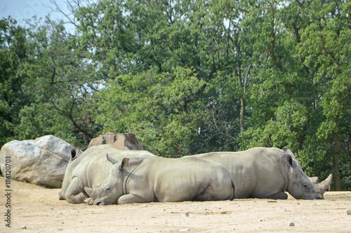 Fotobehang Neushoorn Rhinocéros blanc