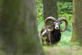 Ovis musimon. Beautiful nature. Wild nature of Czech. Autumn, winter and spring colors. A majestic animal. In the forest. Detail in nature. Muflon is the only representative of the genus of wild sheep - 186123130