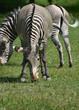 Cute safari Zebras eating in a field