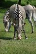 Beautiful zebras grazing in a field of grass