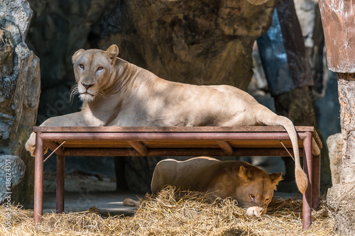 Foto op Canvas Natuur The white lion rest on the table while the other one playing underneath
