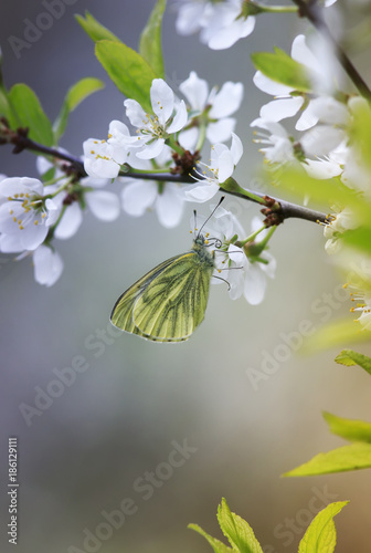 Fotobehang Kersen white butterfly sits on a beautiful branch of a blossoming cherry in the spring and the may garden