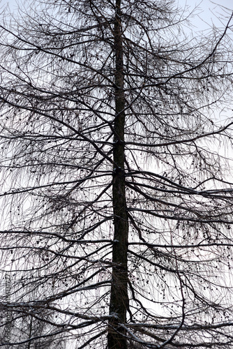 Fotobehang Herfst Fir tree without leaves.