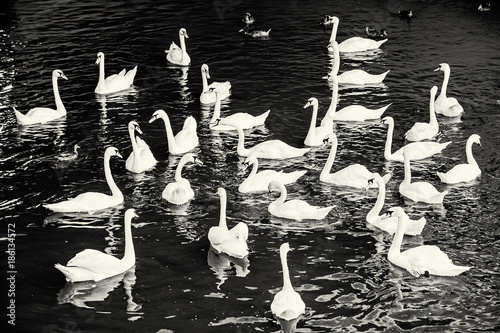Group of white swans with ducks in the water, colorless - 186134572