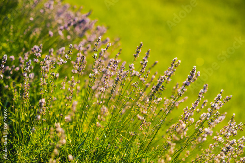 Fotobehang Lavendel Flowers with violet petals on green grass landscape