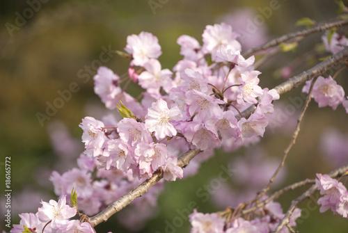 Fotobehang Lichtroze 満開の桜