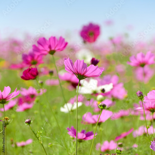 Pink cosmos flowers field on sunny day. - 186172992