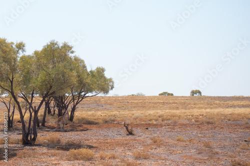 Aluminium Kangoeroe Savannah landscape with red Kangaroo in Outback Queensland