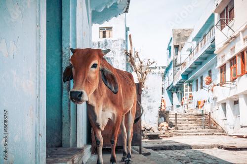 Vache dans une petite rue indienne