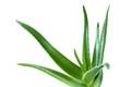 aloe leaf isolated white background