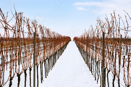 Fotobehang Wijngaard Rows of winter vineyards in southern Moravia, Czech Republic