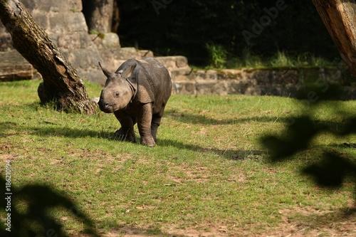 Fotobehang Neushoorn Indian rhinoceros in the beautiful nature looking habitat. One horned rhino. Endangered species. The biggest kind of rhinoceros on the earth.