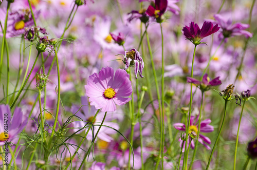 Papiers peints Lilas Pink Cosmos Flower with Blurred Background
