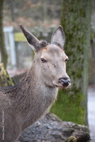 Aluminium Kangoeroe Closeup of a young red deer in a forest in Germany
