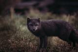 MELRAKKI | Polar Fuchs