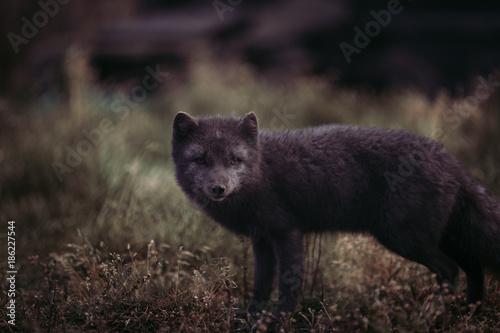 Foto Murales MELRAKKI   Polar Fuchs