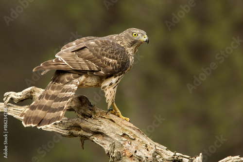 Young male of Northern goshawk, Accipiter gentilis