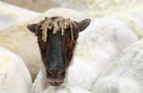 oveja en exposición país vasco U84A1323-f17 - 186237349