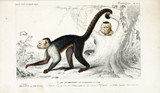 Illustration of primates. - 186239533