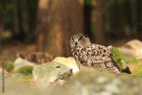 Owl is spread almost throughout Europe. Bubo bubo. Owl in the wild. Czech nature. Highlands. Autumn nature of Czech. Bird.