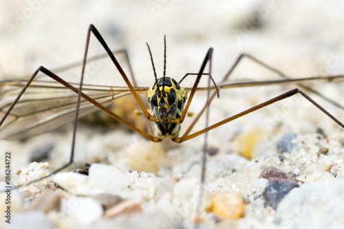 Portrait of a Crane Fly (Nephrotoma Spec.) - 186244722